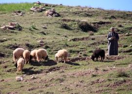 IMG_2951-sheep-herder