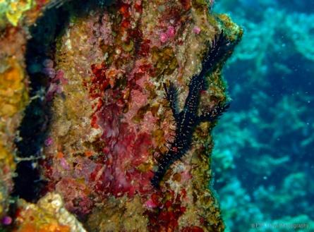 ornate ghost pipefish