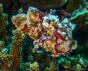 swimming frogfish