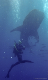 rootie and a whale shark
