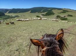 lots of animal herds