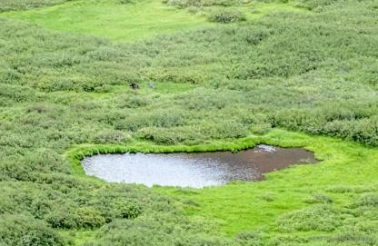 moose behind lake and willows