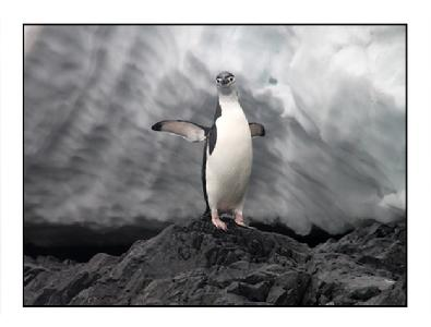 395_chinstrap_penguin_website etb