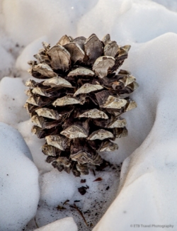 "PINE CONE 5 1/2"" x 4 1/4"" 1/4"" White Border Glossy Finish Blank Inside $2"