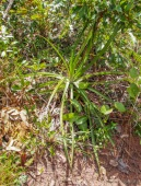 These plants are considered sacred and well cared for to keep native tribes safe from jaguars