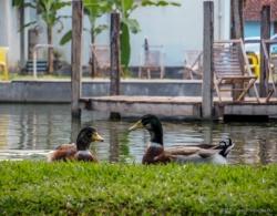 ducks at Bom Jardim