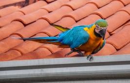 Macaw at Bom Jardim