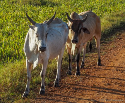 cows at the ranch
