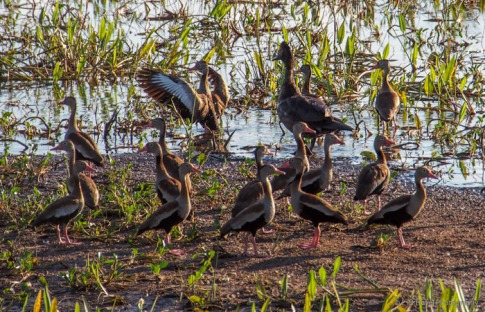 Muscovy Duck and Black Bellied Whistling Ducks