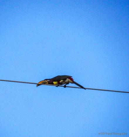 Chestnut Eared Aracari (a type of Toucan)