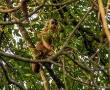 Brown Cappuchin Monkey